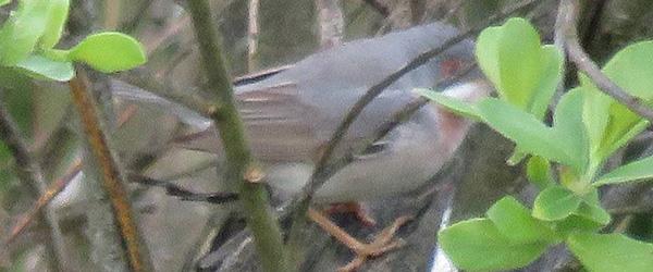 Sjælden fugl set på Grenen