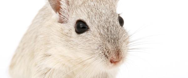 Effektiv rottefælde