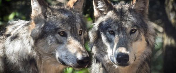 LandboNord: Forsvar mod ulveangreb