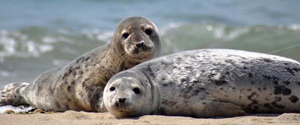 Sæler holder pause fra bølgerne