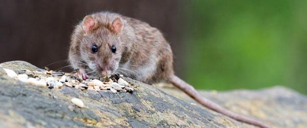 Hjælp med, når Danmarks rottebestand skal bekæmpes