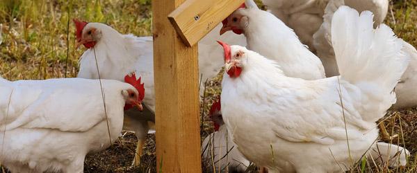 Sådan undgår du, at dine høns får fugleinfluenza