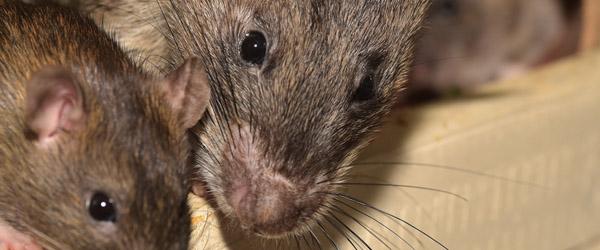 Anmeldelser om rotter er steget markant