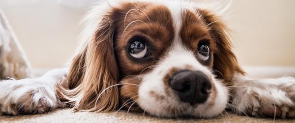 Flere anskaffer sig en hund men glemmer ansvarsforsikringen